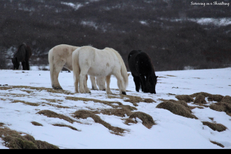 Horses along the Golden Circle route